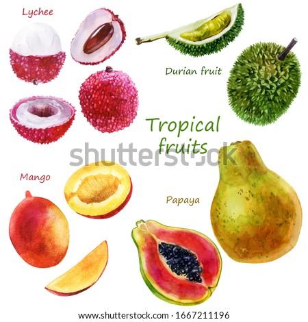 Watercolor illustration of a set of tropical fruits. Durian, lychee, papaya, mango. Whole fruits, parts of fruits #1667211196