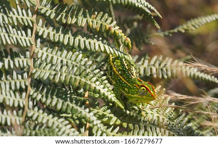 Tiny Jewelled Campan chameleon - Furcifer campani - resting on green fern leaves lit by sun. Most Chameleons are endemic to Madagascar and can be seen in Andringitra National Park #1667279677