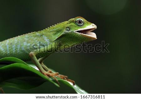 Green lizard on branch, green lizard sunbathing on branch, green lizard  climb on wood, Jubata lizard Royalty-Free Stock Photo #1667316811