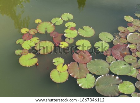leaves water lily in green water pond #1667346112