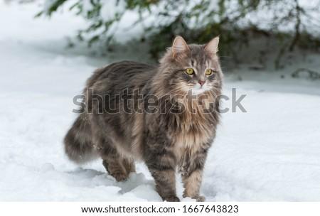 Siberian cat on a winter walk Royalty-Free Stock Photo #1667643823