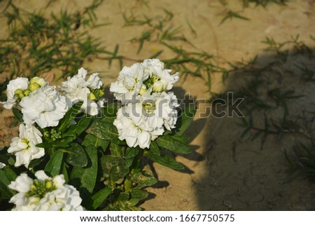 Close up of white stock flowers ( Matthiola Incana), also known as Ten week Stock with green leaves growing in soil in a garden in West Bengal, India, selective focusing