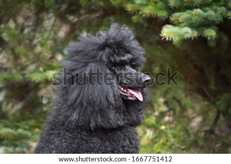 Portrait of royal black poodle sitting on a green backgraund #1667751412