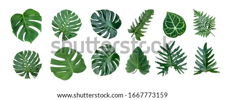 Monstera and Fern plant leaves, the tropical evergreen vine isolated on white background, #1667773159