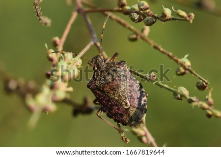 Isolated Asian bedbug of the genus Halyomorpha halys, the brown marmorated stink bug, attached to a wild plant with a natural background.