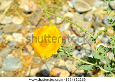 Yellow horned poppy Latin name Glaucium flaviium, plant flowering growing in shingle on Goves Beach in Crete, Crete, Greece. #1667912185