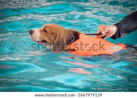 Blur, beagle dog, learning, swimming, pool, while training #1667979139