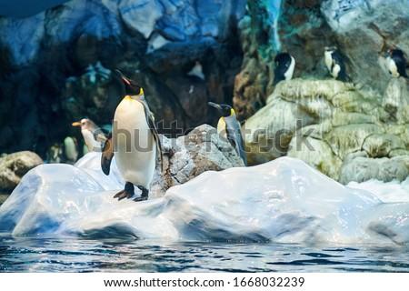 Big beautiful royal penguins in the aquarium.Penguins in the aquarium
