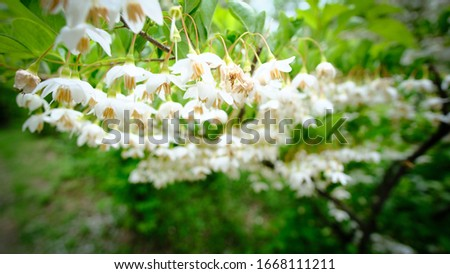 White acacia flowers with green leaves #1668111211