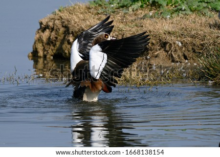 The Egyptian Goose (Alopochen aegyptiacus) is a member of the duck, goose, and swan family Anatidae.