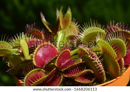 Dionaea Muscipula Typical form Red. Venus Flytrap - Predatory plant, Carnivorous Plant Royalty-Free Stock Photo #1668206113