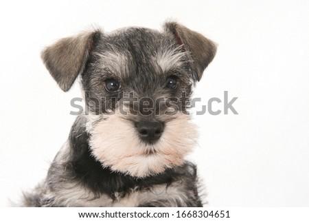 portrait of schnauzer puppy in studio #1668304651