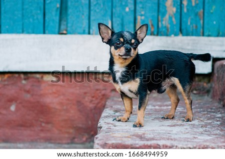 Pet dog walks on the street. Chihuahua dog for a walk. Chihuahua black, brown and white. Cute puppy on a walk. Dog in the garden or in the park Well groomed dog Chihuahua mini smooth haired #1668494959