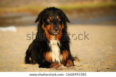 Australian Shepherd dog outdoor portrait lying in sand #1668495385
