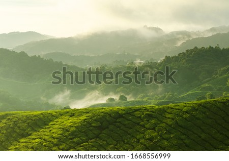 Tea Plantations at Cameron Highlands Malaysia. Sunrise in early morning with fog. #1668556999