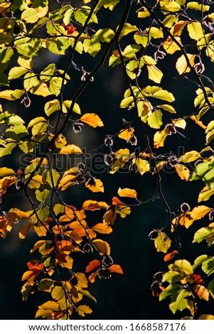 Common beech - european beech - leaves in autumn colours - colourful foliage (Fagus sylvatica) #1668587176