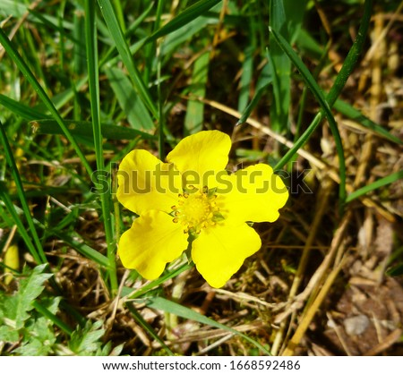 Common Buttercup yellow flowers on green grass background. Ranunculus acris (meadow buttercup, tall buttercup, giant buttercup). Closeup, selective focus #1668592486