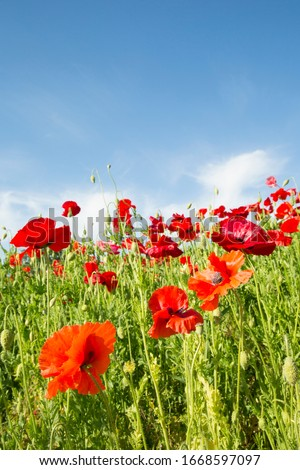 Superb view with poppies blooming all over
