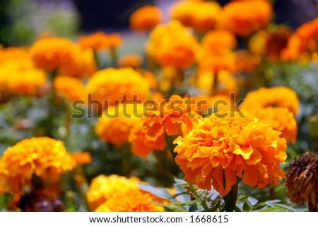 stunning marigold flowers #1668615