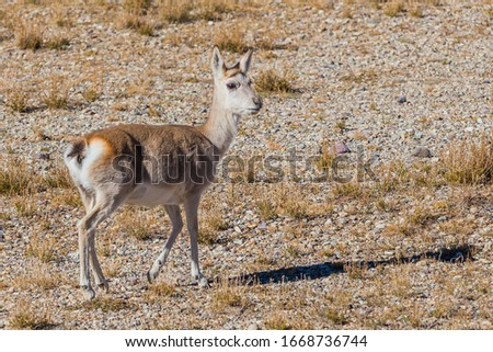 Explore the Qinghai-Tibet Plateau in China at an altitude of more than 5,000 meters, photograph the natural environment and wildlife of the plateau.Picture of Tibetan gazelle (Procapra picticaudata).