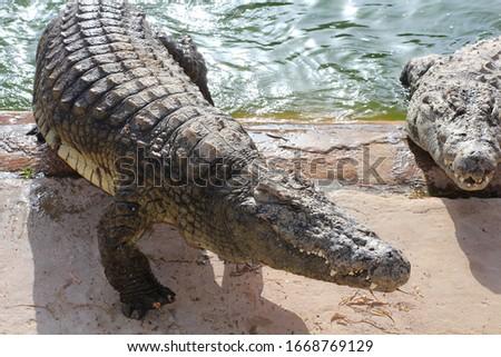 Crocodiles bask in the sun. Crocodiles in the pond. One crocodile comes out of the pond. Crocodile farm. Cultivation of crocodiles. Crocodile sharp teeth. #1668769129