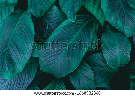 leaves of Spathiphyllum cannifolium, abstract green texture, nature background, tropical leaf #1668932860