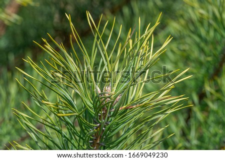 Spruce branch. Beautiful spruce branch with pine needles. Christmas tree in nature. Spruce green. Spruce closeup. #1669049230