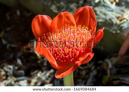 Haemanthus coccineus a red bulbous spring summer perennial summer flower plant commonly known as blood flower, blood lily or paintbrush lily stock photo