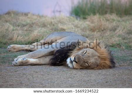 African Lion ( Panthera Leo), male, sleeping,  Chobe National Park, Botswana.