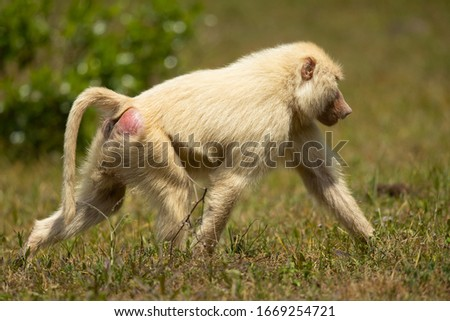 Olive baboon (Papio anubis), also called the Anubis baboon, is a member of the family Cercopithecidae (Old World monkeys).