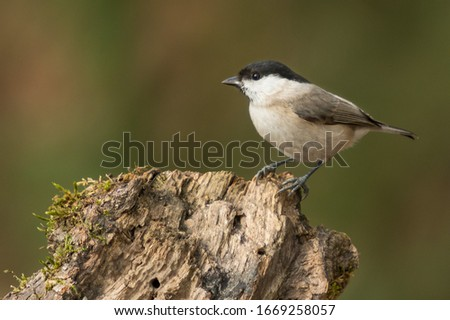 A marsh tit (Poecile palustris / Parus palustris) #1669258057