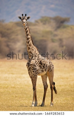 Masai giraffe (Giraffa camelopardalis tippelskirchii), also spelled Maasai giraffe, also called Kilimanjaro giraffe, is the largest subspecies of giraffe. It is native to East Africa. #1669283653