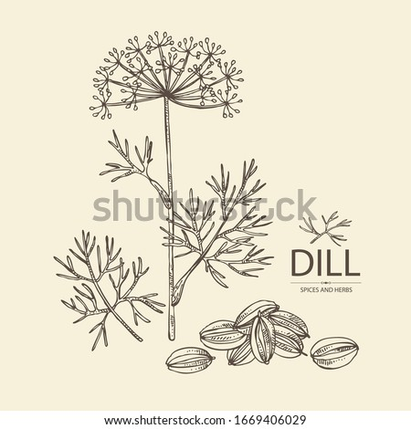 Background with dill: dill leaves and seeds. Herbs and spices. Vector hand drawn illustration. Royalty-Free Stock Photo #1669406029