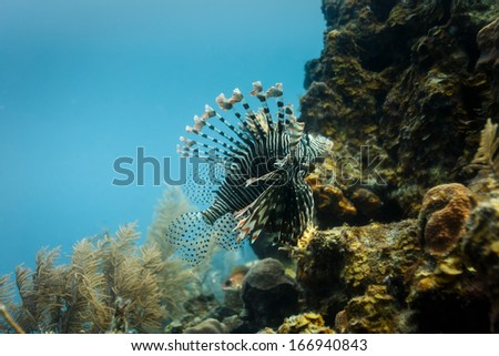 Close-up of venomous lionfish swimming on coral reef in Hol Chan Marine Reserve Belize Royalty-Free Stock Photo #166940843