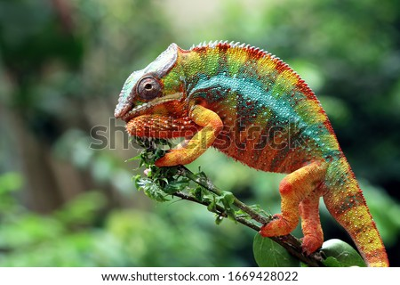 Beautiful of chameleon panther, chameleon panther on branch, chameleon panther climbing on branch, Chameleon panther closeup #1669428022