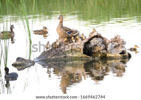 Mallard and ducklings resting on a tree trunk. The female is nervous because of the presence of other birds.