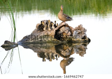 Mallard and ducklings resting on a tree trunk.