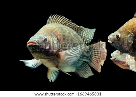tilapia isolated species cichlid fish black tank live mozambique tilapia oreochromis mossambicus isolated on black studio aquarium shot tilapia isolated species cichlid fish black tank live colour pup Royalty-Free Stock Photo #1669465801