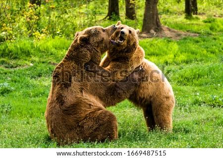 bear brown female male bears hugging wild bears embracing medium telephoto lenses handhold bear brown female male bears hugging hug play wildlife cute love animal kiss sex danger vegetation nature out #1669487515
