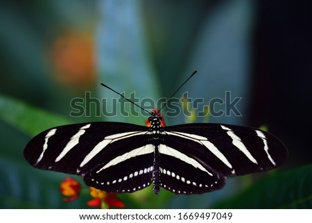 A black and white striped butterfly, a Heliconius charithonia or zebra, sits on green leaves with outspread wings