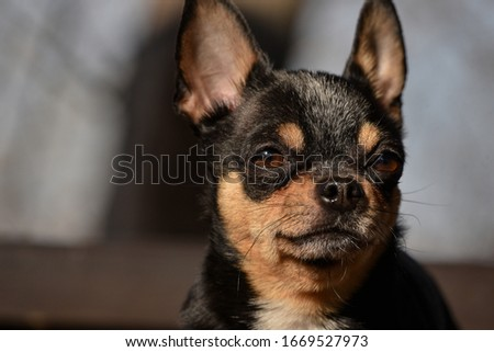 Pet dog Chihuahua walks on the street. Chihuahua dog for a walk. Chihuahua black, brown and white. Cute puppy early in the morning on a walk. Mini breed Chihuahua Smooth Shorthair #1669527973