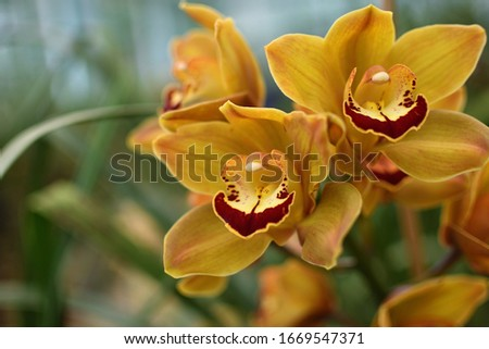 Close up picture of Yellow Cymbidium Orchids (boat orchid) flowers blooming in the greenhouse. Macro. Orchid pattern. Orchid selective focus background