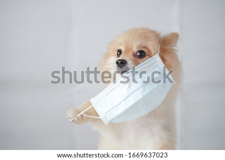 coronavirus concept, small dog breed or pomeranian with light brown hair sitting and wearing a anti pollution PM2.5 mask with white background. It feels uncomfortable so it trying to pull mask out #1669637023
