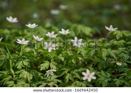 Wood anemone (Anemone nemorosa) - early-spring flowering plant. #1669642450