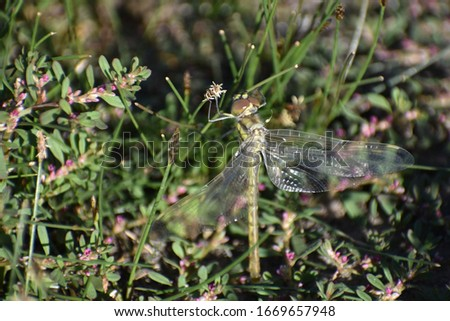 Common club-tailed dragonfly hanging vertically holding onto a flower with open wings in natural soft blurred green vegetation with pretty pink flowers Cockatoo Lake Reserve South Australia Australia #1669657948