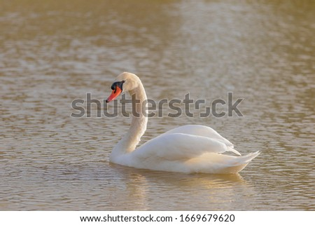 The exotic Mute Swan is the elegant bird of Russian ballets and European fairy tales. This swan swims with its long neck curved into an S and often holds its wings raised slightly above its back. #1669679620