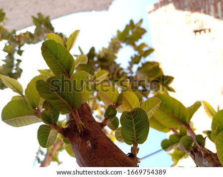 This is a Guava tree Pic.this is a full original images without Editing.