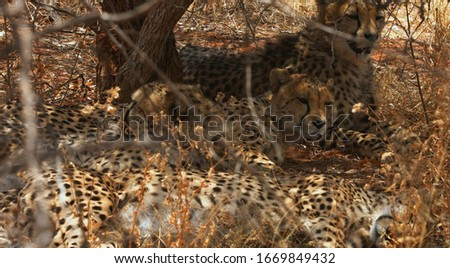 In the image we see a very beautiful leopards and they enjoys the fresh air. #1669849432
