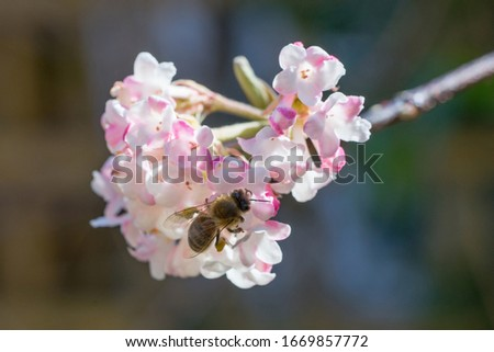 Closeup of honey bee (Apis mellifera) on Viburnum flowers in early spring #1669857772