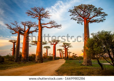 Beautiful Baobab trees at sunset at the avenue of the baobabs in Madagascar Royalty-Free Stock Photo #1669980286